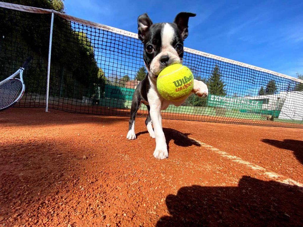 Pes na tenise